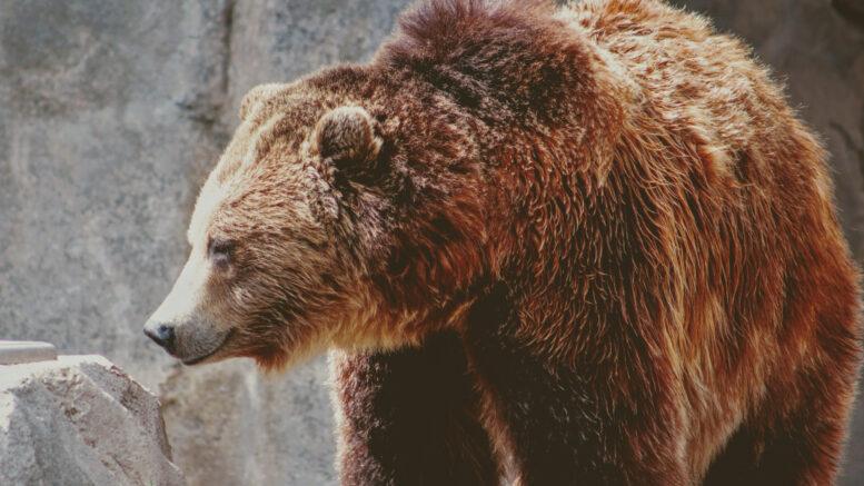 Qué características tienen los osos
