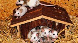 Qué es lo que comen los ratones