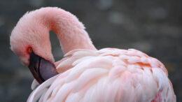 Qué necesita para vivir el flamenco rosa