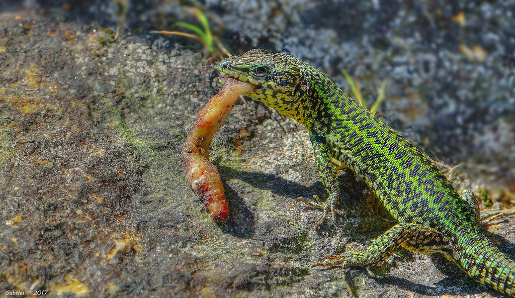 Cómo es la lagartija
